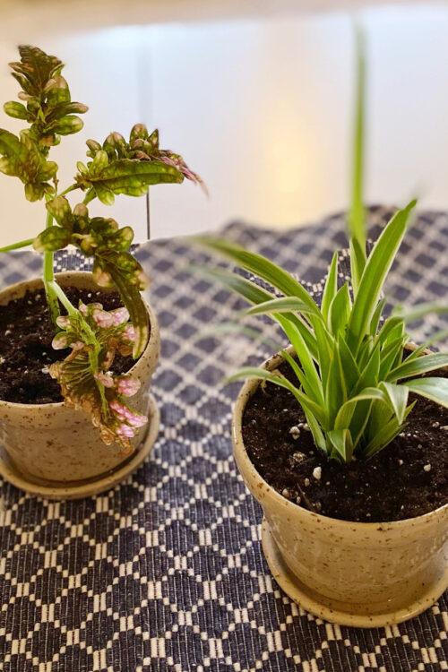 Plantera lite sticklingar