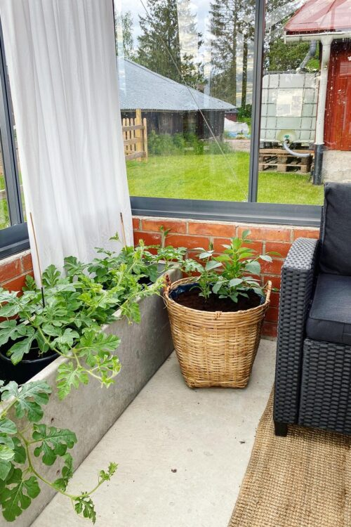 Lite fix i växthuset – Sticklingar